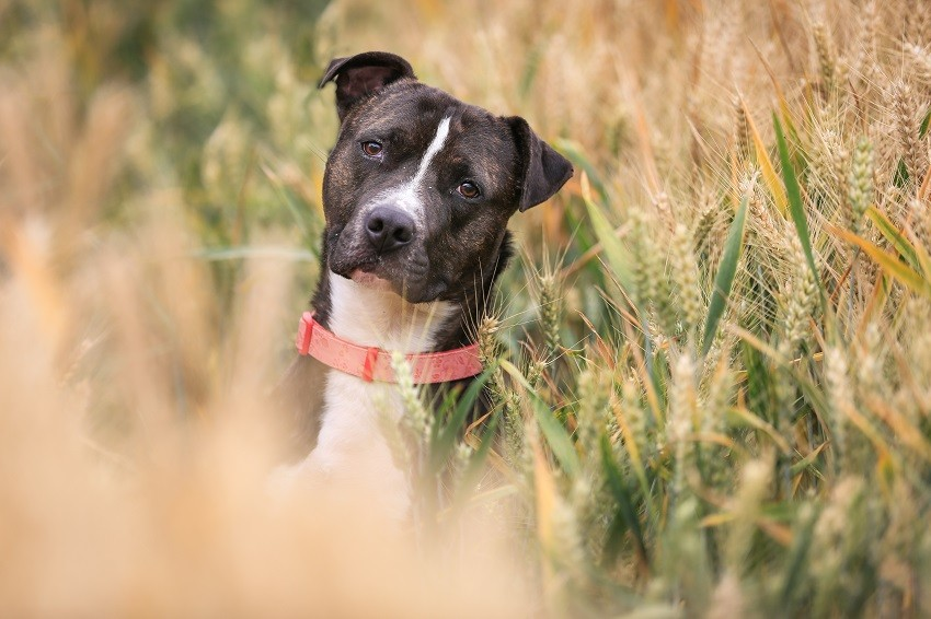 6-staffordshire-bull-terrier